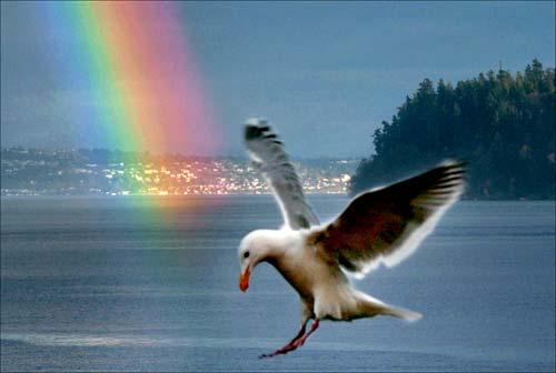 Tacoma Postcard, by Duncan James Livingston - SEAGULL WITH RAINBOW