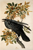 Print by John James Audubon, Raven available from Tam O'Neill Fine Arts in Denver, Colorado