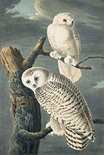 Artwork by John James Audubon on sale at Joel Oppenheimer in Chicago, March 2021, 030821